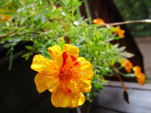 RainMarigold